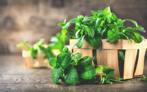 - Best Herbs to Grow Indoors Mint -